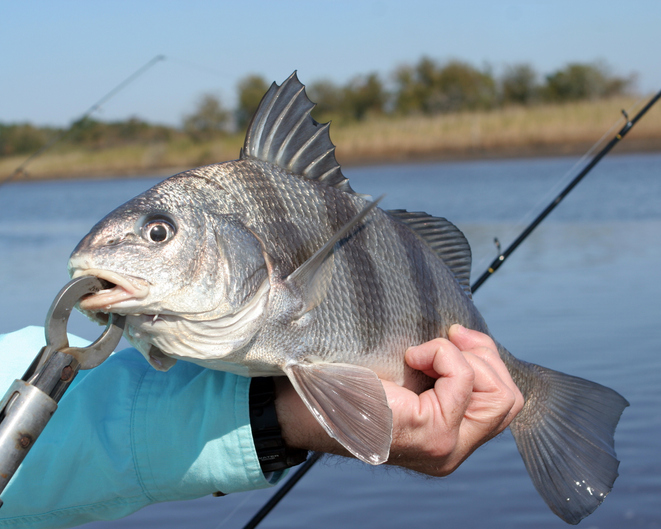 black drum fishing nc, southport nc fishing report, oak island nc fishing report