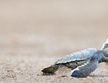 baby sea turtles in oak island