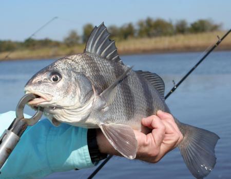 black drum fishing nc, southport nc fishing report, oak island nc fishing report