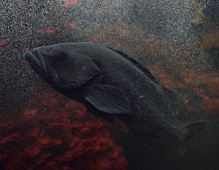 black sea bass fishing nc, southport fishing report, oak island nc fishing report, what's in season in oak island