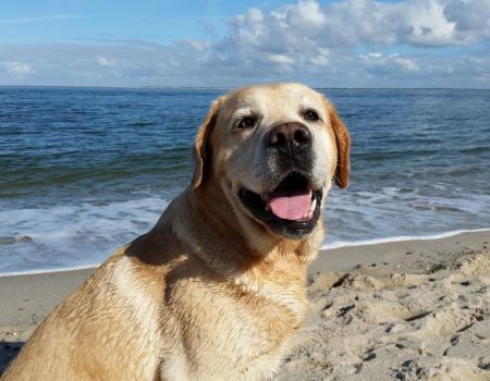 Happy golden retriever on Oak Island Beach