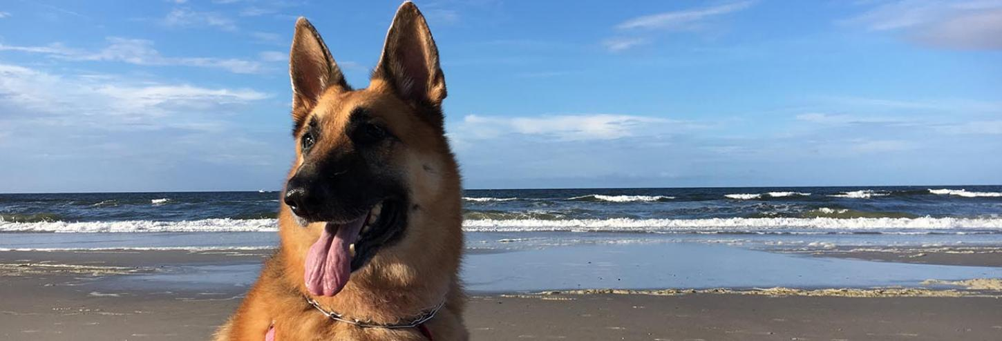 Beautiful German Shepherd on the beach at Oak Island