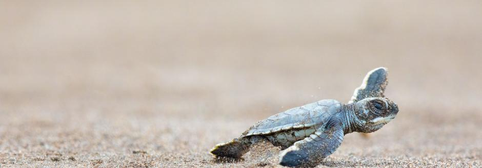 baby sea turtle oak island nc