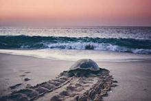 Sea turtle in Oak Island