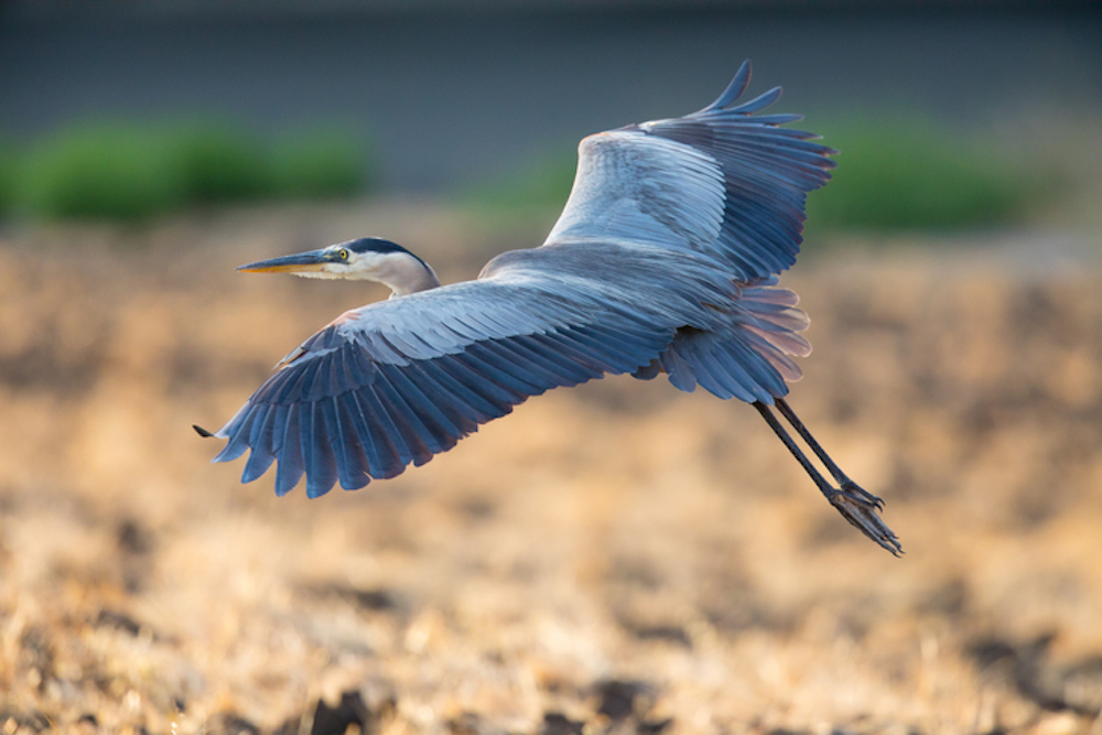 blue heron in oak island, nc
