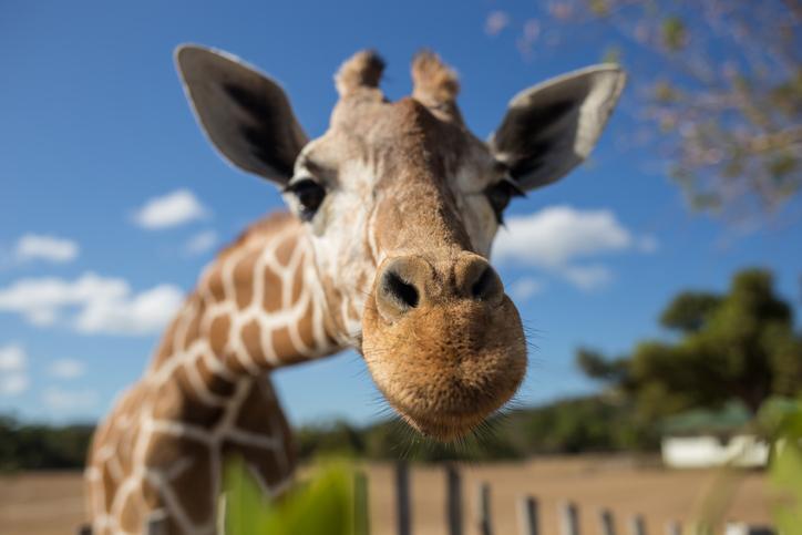 giraffe north carolina zoo