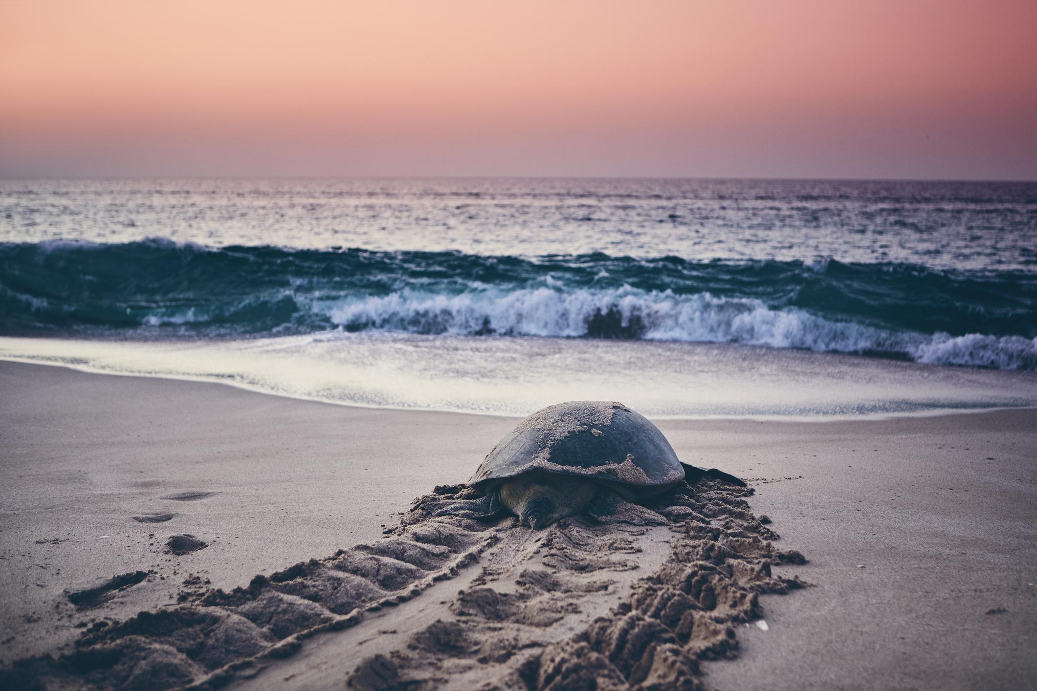 sea turtles in oak island nc